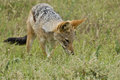 Black backed jackal staring Stock Photography