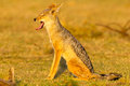 Black Backed Jackal, Yawning, Sunshine Royalty Free Stock Photo