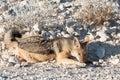 Black-backed jackals, Etosha National Park, Namibia