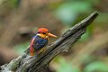 Black-backed Kingfisher Royaltyfria Foton