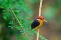 Black-backed Kingfisher Royaltyfri Foto