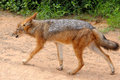 Black-backed, silver-backed or red jackal Stock Image