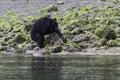 Black bear on a beach turning a rock