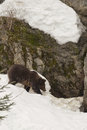 A black bear brown grizzly portrait in the snow while looking at you colse up Royalty Free Stock Photos
