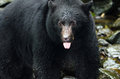 Black bear closeup british columbia canada american Stock Photography