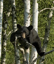 Black bear cub Stock Photos