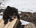 Black bear cub american chewing or teething on a piece of firewood springtime in wisconsin Royalty Free Stock Image