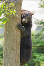 Black bear cub climbing in the tree Royalty Free Stock Photo