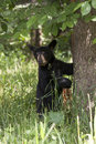 Black bear cub climbing tree at base of ready to climb Stock Photo
