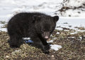 Black bear cub close up image of an american springtime in wisconsin Stock Photography