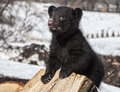 Black bear cub close up image of an american standing on a stack of firewood vocalizing Royalty Free Stock Photo