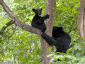 Black bear cub crying for mom in a tree as sow approaches Royalty Free Stock Images