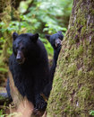 Black bear cub and mother Royalty Free Stock Photo