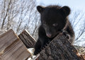 Black bear cub a playful american climbing on a wood pile springtime in wisconsin Stock Image