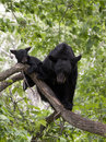 Black bear and cub sow in a tree Royalty Free Stock Images