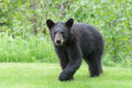 Black Bear Cub Royalty Free Stock Photo