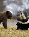 Black Bear Cub and Striped Skunk - motion blur Royalty Free Stock Photos