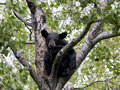 Black bear cub in tree young a waiting for momma Stock Photos