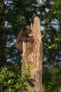 Black Bear Cub Ursus americanus Holds on to Tree Royalty Free Stock Photo
