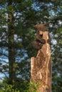 Black Bear Cub Ursus americanus Looks Down From Tree Top Royalty Free Stock Photo