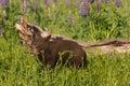 Black bear cub ursus americanus sticks out tongue captive animal Stock Photos