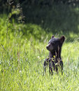Black bear cub young curious stands up and is observant of his surroundings riding mountain national park manitoba canada Stock Images