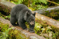 Black bear cub young walking on fallen tree trunk Stock Photo