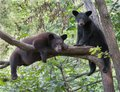 Black bear cubs Royalty Free Stock Photo