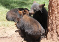 Black bear cubs playing by a tree Stock Photos