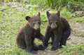Black bear cubs playing ursus americanus Royalty Free Stock Image