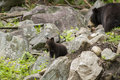 Black bear cubs playing ursus americanus Stock Images