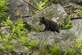 Black bear cubs playing ursus americanus Royalty Free Stock Images