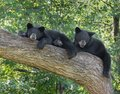 Black bear cubs in a tree Royalty Free Stock Photo