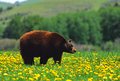Black Bear in Dandelions Stock Images