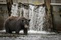Black Bear Fishing At A Salmon Hatchery Royalty Free Stock Photo
