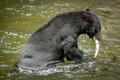 Black Bear Fishing At A Salmon Hatchery Royalty Free Stock Photo