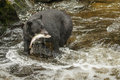 Black bear large american catching pink salmon in anan creek Stock Image