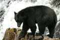 Black Bear Looking For Salmon ...