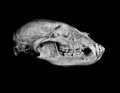 Black bear portrait of a skull Stock Photos