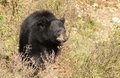 Black bear puppy 2 Royalty Free Stock Photos