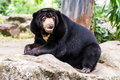 Black bear sitting on the rock Royalty Free Stock Photo