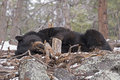 Black bear sleeping in the early morning Royalty Free Stock Photography