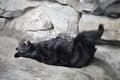 Black Bear Sleeping Royalty Free Stock Photo