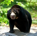 Black Bear Standing Stock Photo