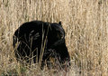 Black Bear in tan grass Stock Images
