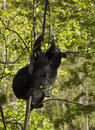 Black Bear on the tree Stock Photos