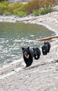 Black Bear with Triplets Royalty Free Stock Photo