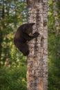 Black Bear Ursus americanus Cub Climbs Down Tree Royalty Free Stock Photo