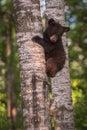 Black Bear Ursus americanus Cub Looks Down From Tree Trunk Royalty Free Stock Photo