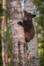 Black Bear Ursus americanus Cub on Tree Eyes Closed Royalty Free Stock Photo